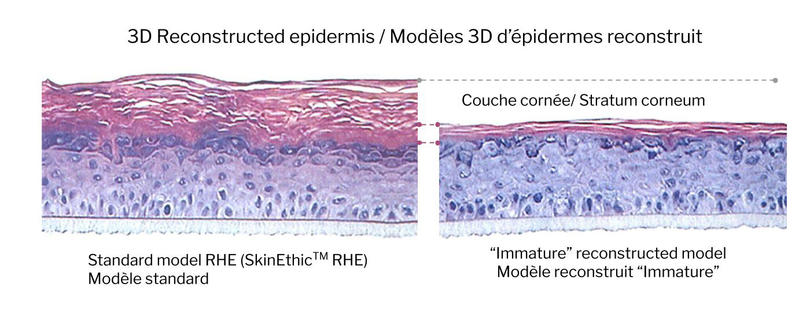 "Reconstructed Epidermal Sections – Development of a new ""Immature"" model"